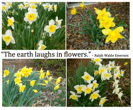 Daffodils and quote